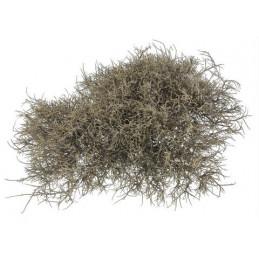 Iron Bush 25-30 cm