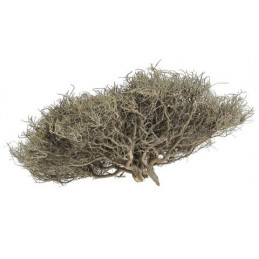 Iron Bush 30-35 cm