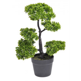 Podocarpus  bonsai - 50 cm