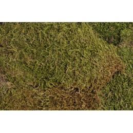 Flat moss 500 g - mech leśny