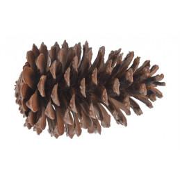 Szyszka Pinus Maritima XL +18cm
