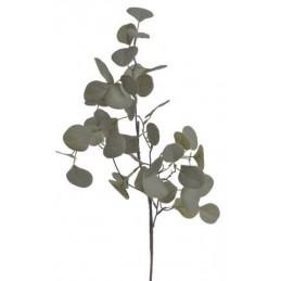 Eukaliptus populus 70 cm -...