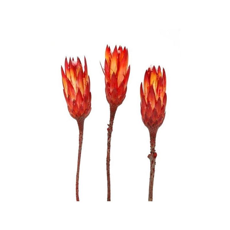 Protea - Repens RGS H32-36 cm - susz
