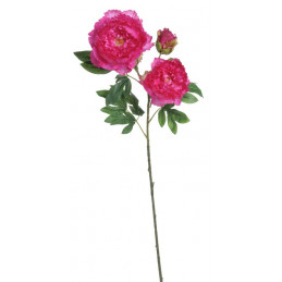 Piwonia 2+1 wiosna 98 cm