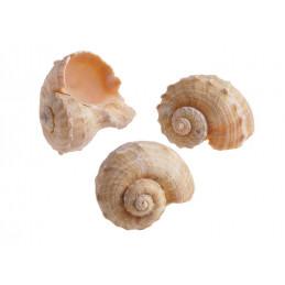 Muszle CHIRATTAI, 6-7 cm 1KG
