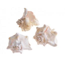 Muszle WHITE MULLI, 6-7 cm