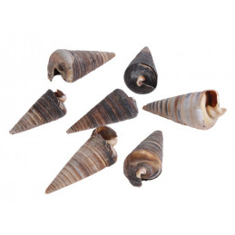 Muszle CONE SHELL, 6-8cm 1KG