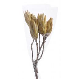 Protea Repens cream duzy H30 cm - susz